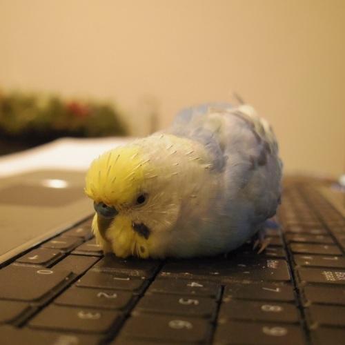 お気に入りのノートパソコンの上で 暖をとるたまちゃん (2011年2月11日撮影)
